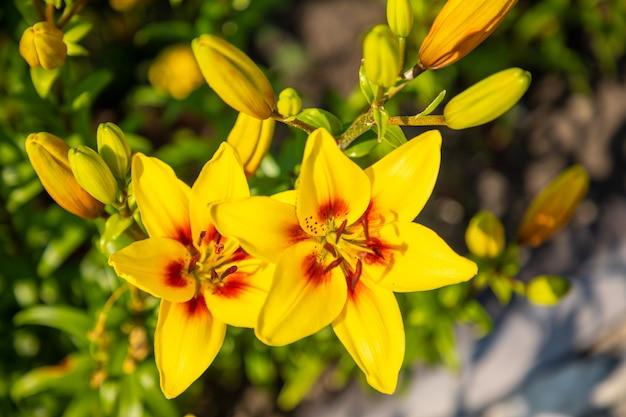 Gele lelie op gekleurd in de tuin