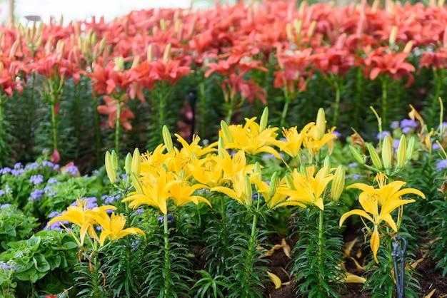 Gele leliebloemen