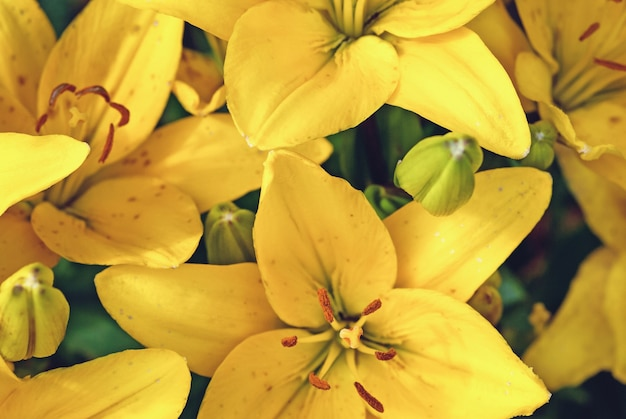 Gele lelies florale achtergrond (fire lily) close-up