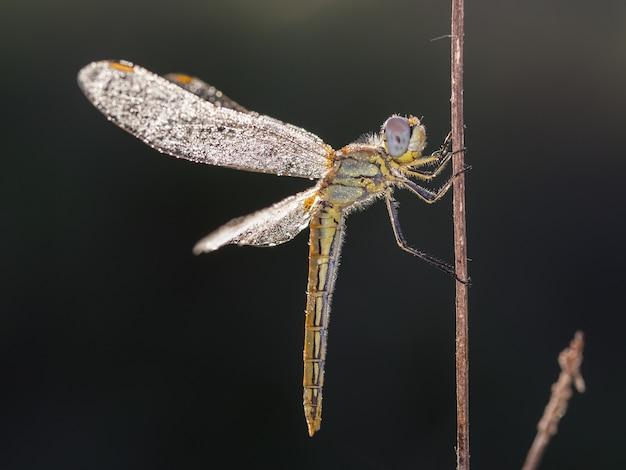 Gele libel gefotografeerd in hun natuurlijke omgeving