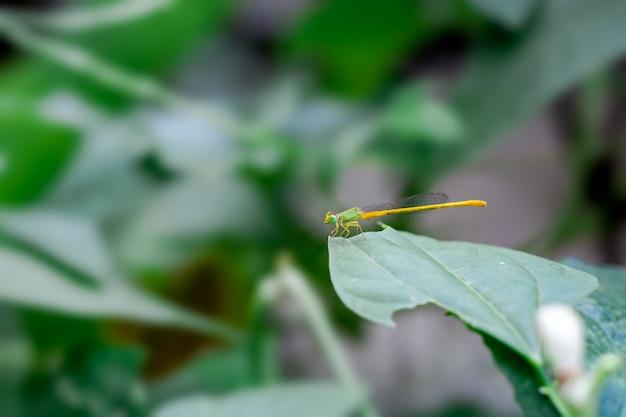 Gele libel zittend op een groen blad