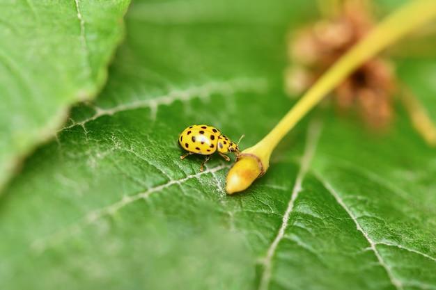 Gele lieveheersbeestje zittend op een groen blad