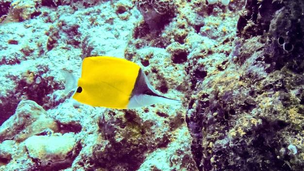 Gele longnose butterflyfish (forcipiger longirostris) onder water in de maldiven.