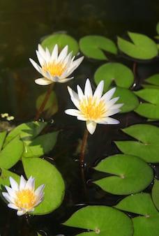 Gele lotus in meer