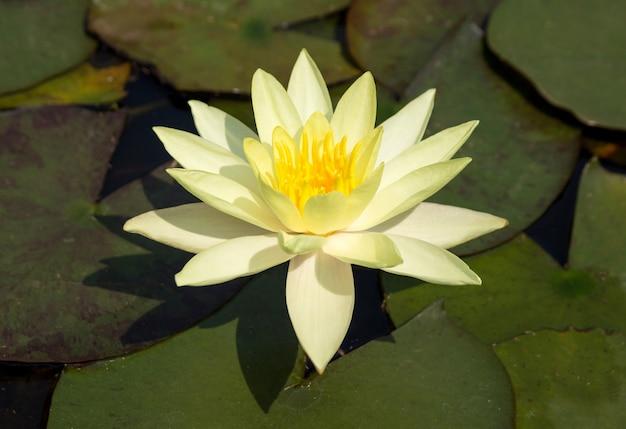 Gele lotusbloembloem in vijver