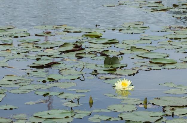 Gele lotusbloesems of waterleliebloemen die op vijver bloeien