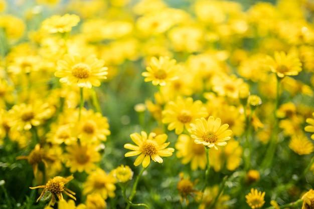 Gele madeliefjebloemen in de tuin