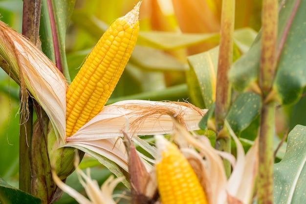 Gele maïskolf op het veld. verzamel maïsoogst.