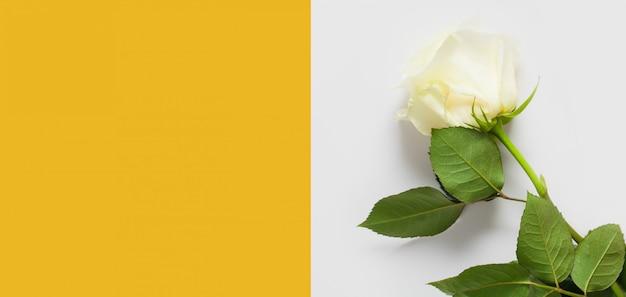 Gele muur voor de tekst, versierd met een witte roos aan de rechterkant. concept zachte muren met bloemen, muren voor bloemenwinkels, bruiloftsteksten, ondergoed en parfum.