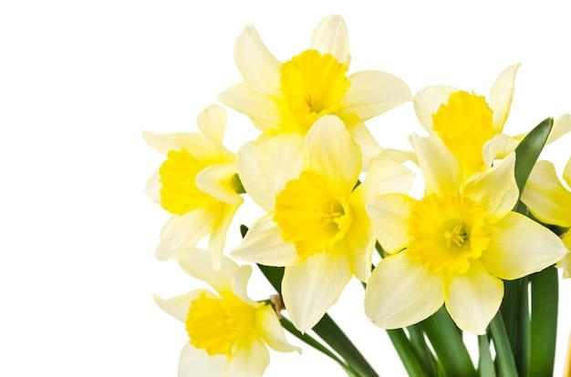 Gele narcis geïsoleerd op een witte achtergrond