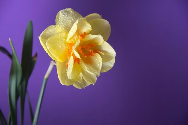 Gele narcis op een paarse achtergrond. lente bloemen. gele narcis op een paarse achtergrond. lente bloemen.
