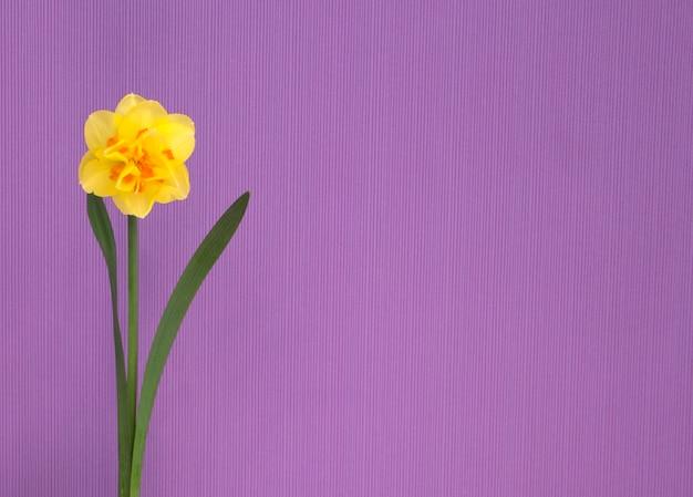 Gele narcis op een paarse achtergrond. lente bloemen.