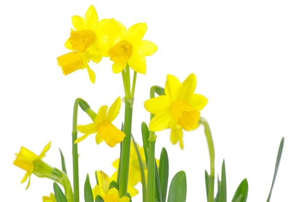 Gele narcis op een witte achtergrond