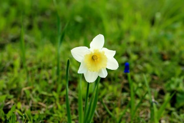 Gele narcisbloemen in de tuin