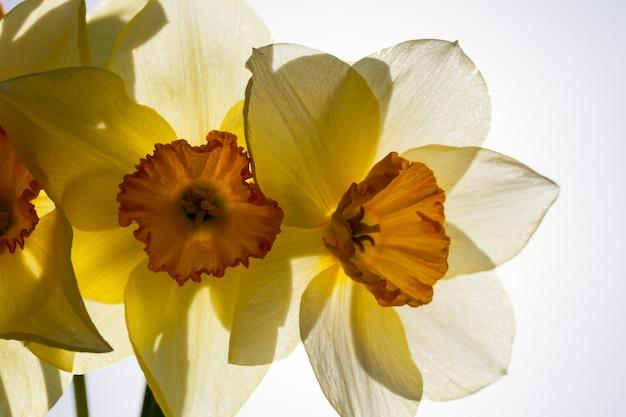 Gele narcisbloemen voor decoratie en voor landschapsarchitectuur, gele narcis in het lenteseizoen Premium Foto