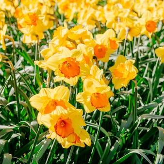 Gele narcissen in de tuinen van holland. bokeh lichteffect,
