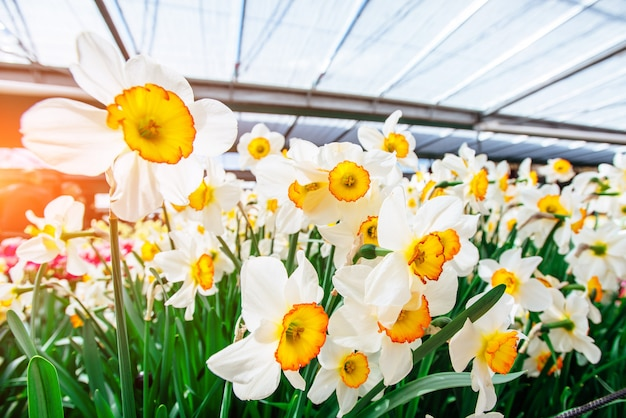 Gele narcissen in de tuinen van holland. narcissus