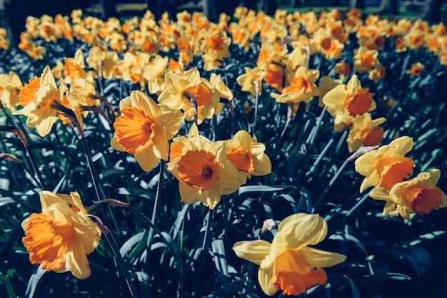 Gele narcissen in de tuinen van holland. retro gefilterd.