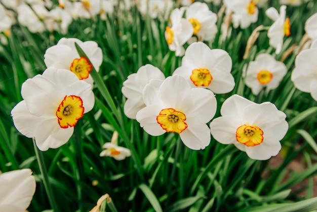 Gele narcissen in de tuinen van holland