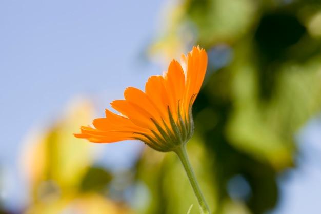 Gele nuttige bloem van calendula, die wordt gebruikt voor het maken van tincturen en andere traditionele medicijnen