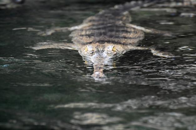 Gele ogen van een gaviale krokodil die uit het water tuurt