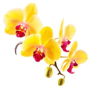 Gele orchidee bloemen geïsoleerd op een witte achtergrond. orchideetak met toppen. uitknippad inbegrepen
