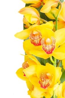 Gele orchidee bloemen grens geïsoleerd op een witte achtergrond