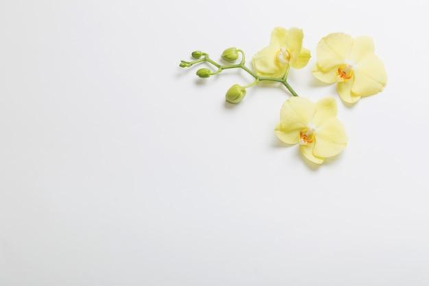 Gele orchideeënbloemen op wit