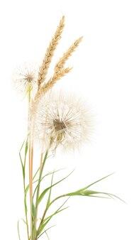 Gele oren van tarwe en paardebloemen op wit.