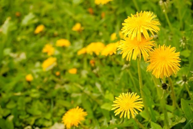 Gele paardebloembloemen met bladeren in groen gras, de lentefoto. fantastisch gebied met verse gele paardebloemenbloemen. helder landschap. europa. prachtige wereld.