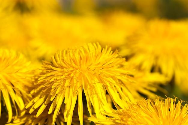 Gele paardebloemen