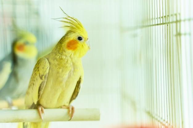 Gele papegaai corella