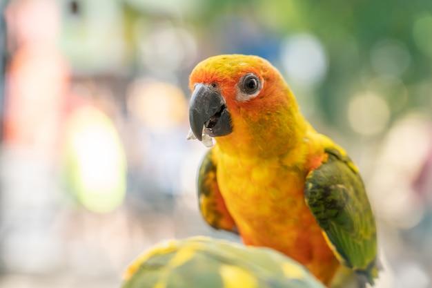 Gele papegaai