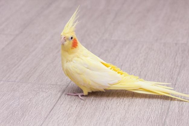Gele papegaaikorella zit op de vloer.