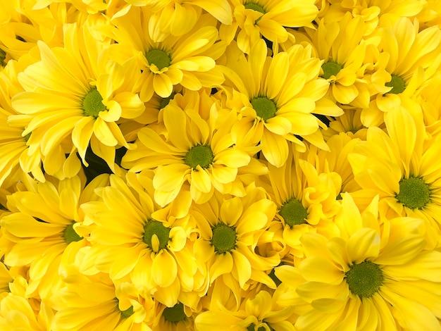 Gele pastel chrysant bloem achtergrond met soft focus