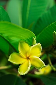 Gele plumeriabloemen met bladerenachtergrond