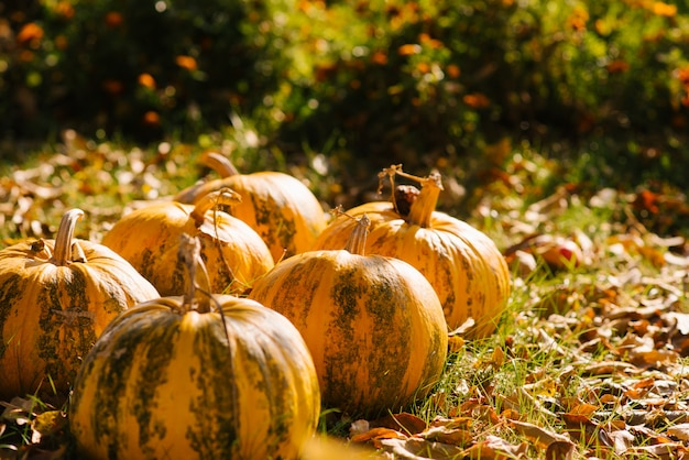 Gele pompoen achtergrond de herfstoogst, exemplaarruimte