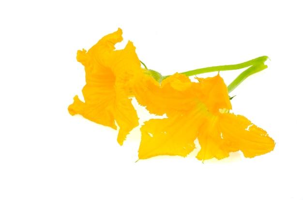Gele pompoenbloem, geïsoleerde courgette.