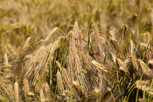 Gele rijpe rogge in een landbouwgebied, rogge verandert van kleur van groen naar geel in de zomer