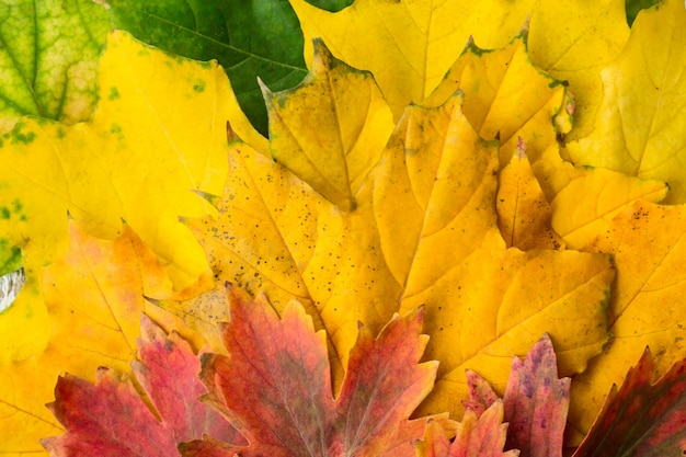 Gele rode en groene esdoornbladeren met de achtergrond van het gradiëntclose-up