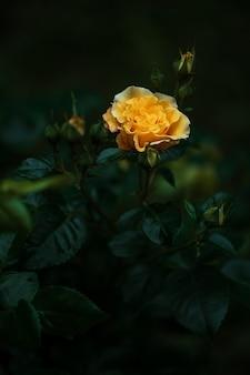 Gele roos bloeiend in een donkere lichte tuin light