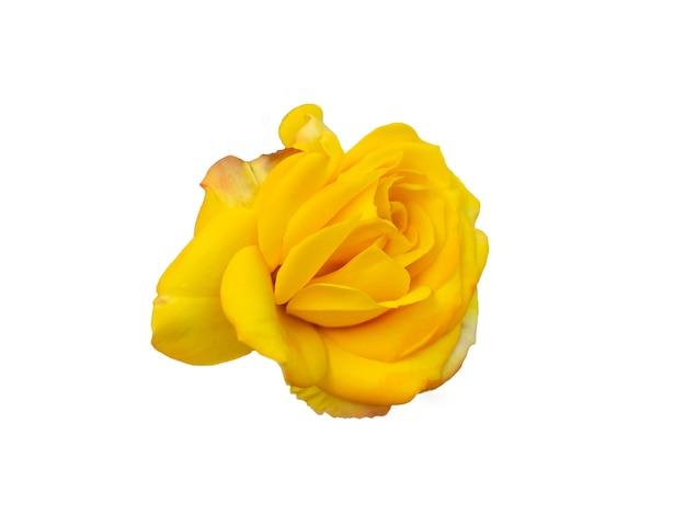 Gele roos geïsoleerd op een witte achtergrond. mooi stilleven. lente tijd. plat lag, bovenaanzicht.