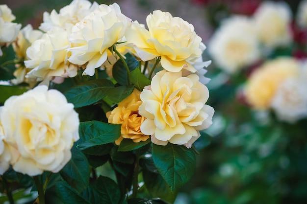 Gele rozen in de rozentuin