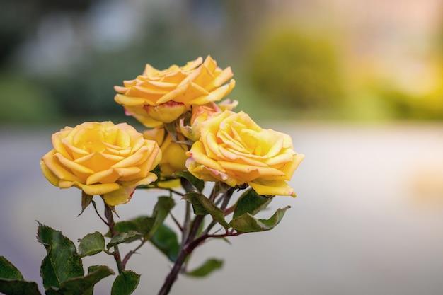 Gele rozen in de zomertuin