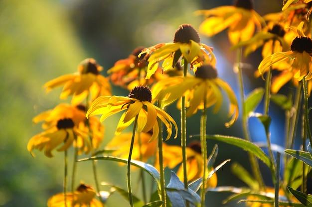Gele rudbeckia blackeyedsusans bloemen op zonnige heldere achtergrond