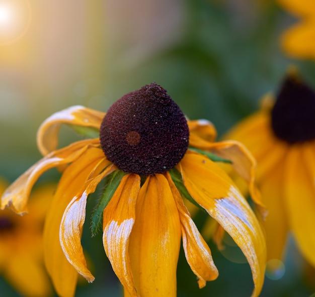 Gele rudbeckia is een geslacht van eenjarige