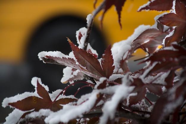 Gele schoolbus naast herfst esdoorn bladeren bedekt met de sneeuw foto van hoge kwaliteit
