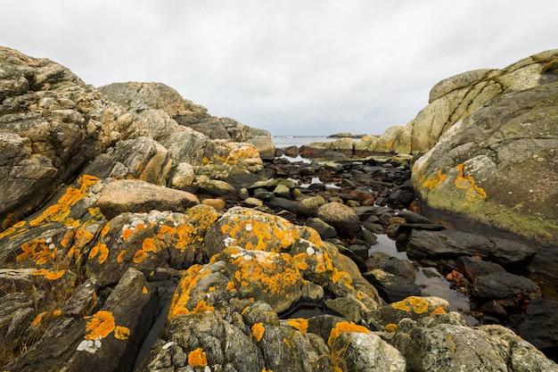 Gele schubben, gemeenschappelijk oranje korstmos - xanthoria parietina - groeiend op rotsen dicht bij de oceaan in kristiansand, noorwegen