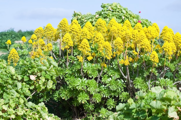 Gele sedum in de mediterrane tuin