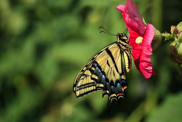 Gele swallowtail-vlinder op stokroosbloem